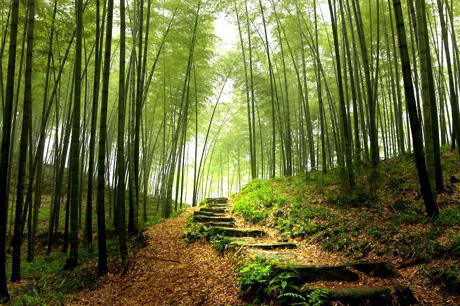 Foret de bambous